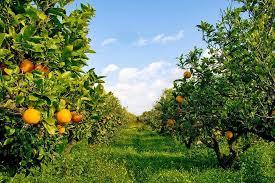 La regione stanzia dieci milioni di euro per gli agrumeti danneggiati