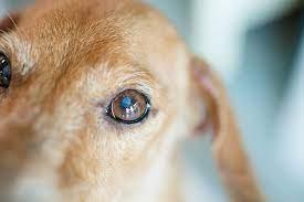 La leishmaniosi canina: i consigli del nostro veterinario Pietro Ingrande (VIDEO)