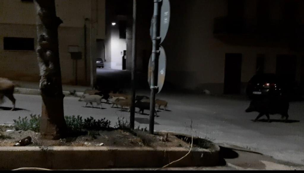 Emergenza cinghiali a Castellammare, insediato il tavolo tecnico