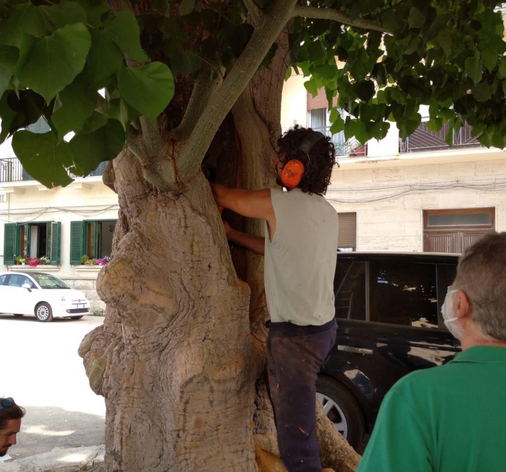 Eritrine, in corso intervento a tutela e protezione degli alberi