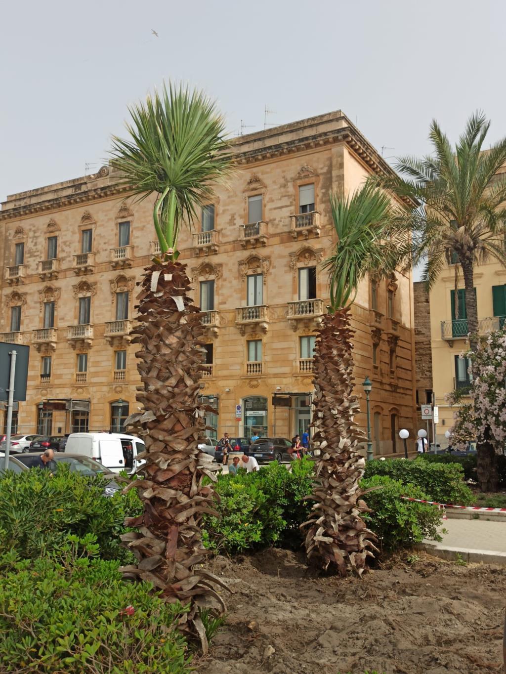 Sette nuove palme a Piazza Garibaldi