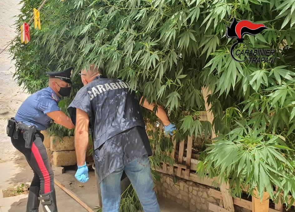 Marsala, una piantagione di canapa nel giardino: arrestato